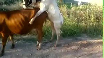 เย็ดแม่วัว เย็ดกัน เด้ากัน หีวัว วัวเอากัน